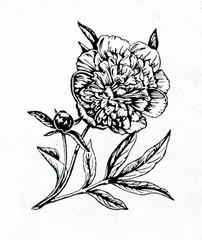 Peony (Paeonia lactiflora)