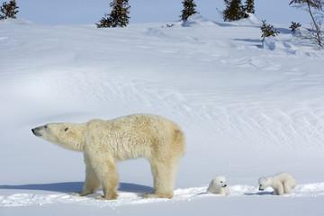 Eisbaerin mit Jungen