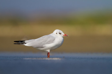 black-headed gull or common gull