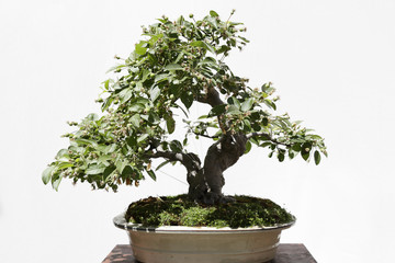 Apple tree (Malus) bonsai on a wooden table and white background