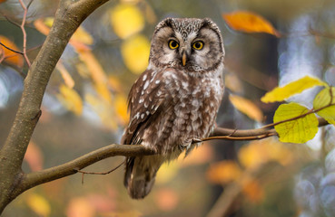 Fotobehang Uil boreal owl in autumn leaves