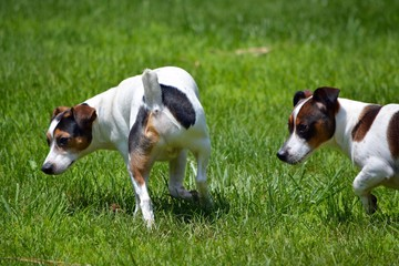 Pair of Jack Russell Terriers