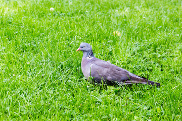 Profile of a Grey Pigeon Standing Alone On Green Grass