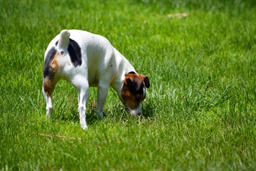 Jack Russell Terrier Dog Looking at Something in Yard