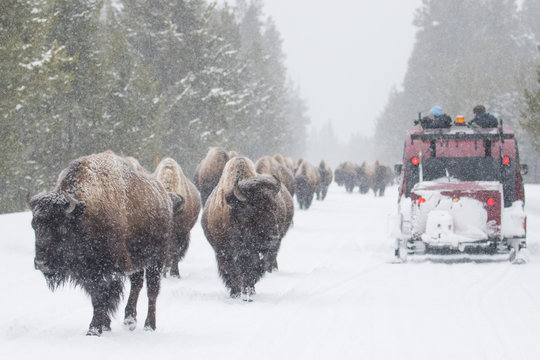 yellowstone bison herd shares winter road with snow coach