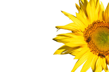 Half sunflower isolated on white