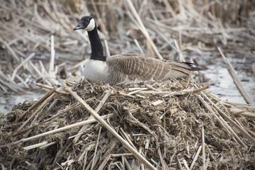 Canada goose on nest in marsh, early spring, Massachusetts.