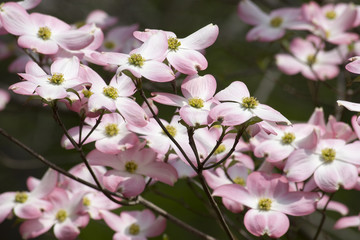 Pink Dogwood Tree in Bloom for Spring