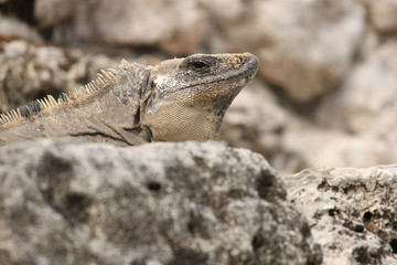 Iguana at rest