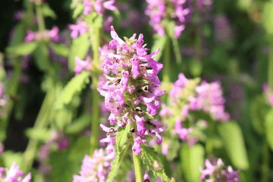 """Purple Betony"" flowers (or Betony, Wood Betony, Bishopwort, Bishops Wort) in Innsbruck, Austria. Its scientific name is Betonica Officinalis (or Stachys Officinalis), native to Europe and Asia."