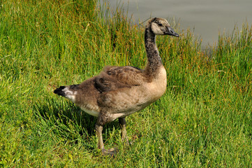 Canada Goose gosling about a month old