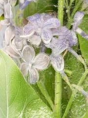 lilac transparent ice