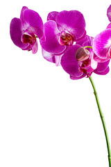 Background with Beautiful pink orchid flowers on white