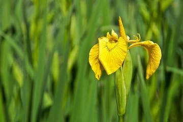 blooming yellow iris