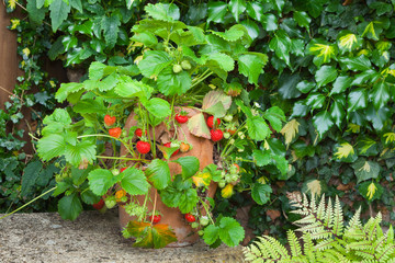 Strawberry plant in a terracotta pot on a garden bench
