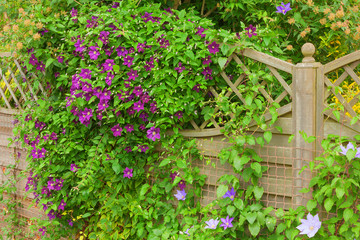 Clematis flower hiding a garden fence