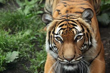 Malayan tiger (Panthera tigris jacksoni).