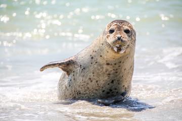 Kegelrobbe am Strand von Helgoland