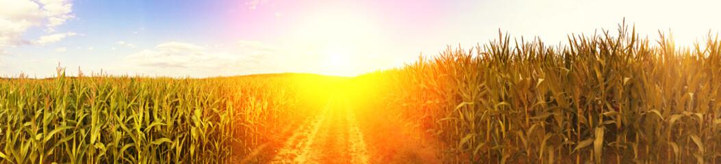 Maisfeld in der Sonne - Panoramaaufnahme Fotoväggar