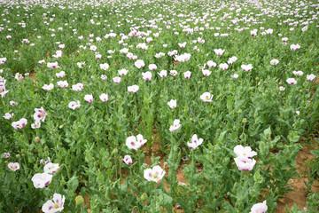 Wild poppy flowers / Vivid poppy field