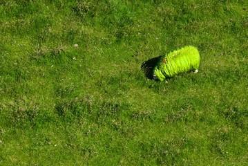 Grünes Schaf von oben