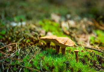 Yellow mushrooms in a pine forest on the moss