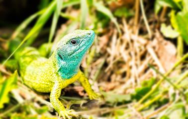 Close-up of a male European green lizard (Lacerta viridis)