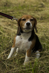 Beagle dog sitting on a leash.