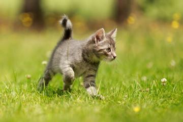 Kitten rennt