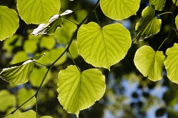 Leaf on a sunny day. Sun shining through the leaves. Bright sun.