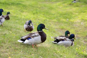 Walking ducks on the green grass.