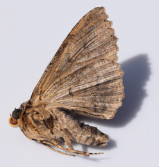 Brown moth in Mississippi