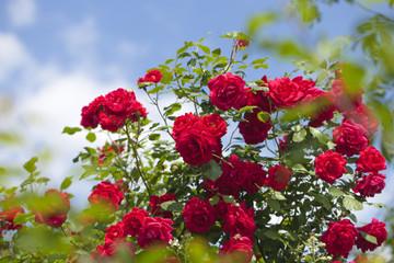 Wild red rose bush