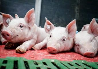 Schweinehaltung, niedliche Ferkel liegen im beheiztem Ferkelnest