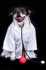 american bulldog on black background doctor