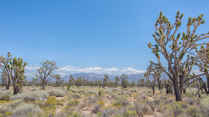 Joshua Tree Forest, Mojave National Preserve, CA