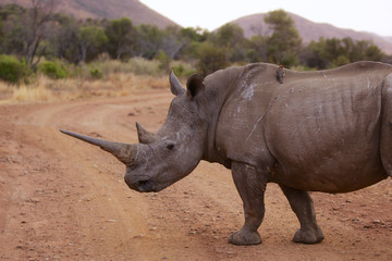 Close up of a white rhino with a large horn