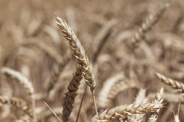 Épis de blé en gros plan