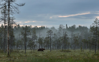 Brown bear walking in the misty forest