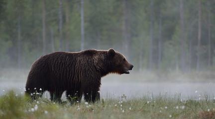 Brown bear in the misty bog