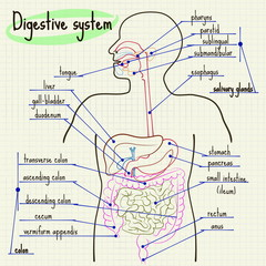 Digestive system of man
