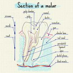 structure of human tooth