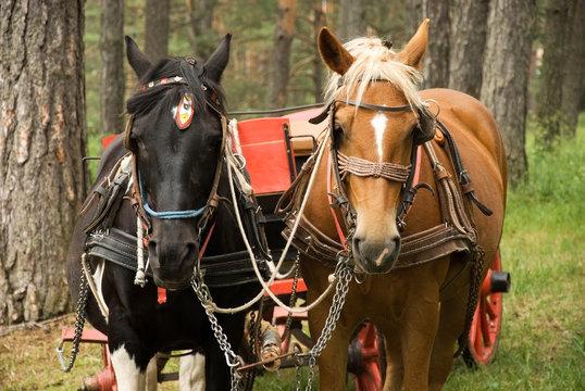 Horses with carriage on Mount Zlatibor