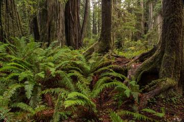 Ferns in Redwood National Park