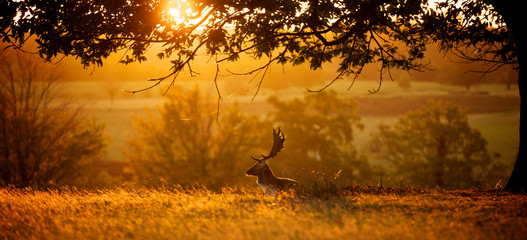 Wall Mural - Sunrise. A fallow deer buck resting one autumn morning