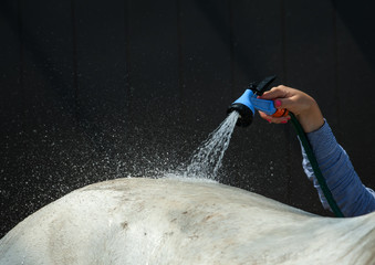 Girl washes horse with special hose in the heat
