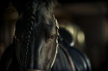 Fototapeta Frisian stallion closeup in equine ammunition inside the stable
