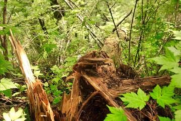 Collapsed Tree