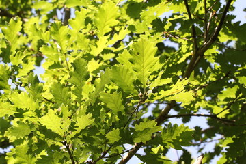 The foliage of trees in the sun
