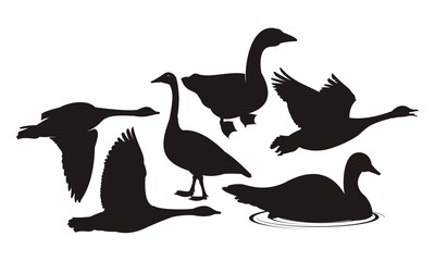vector silhouette geese on white background